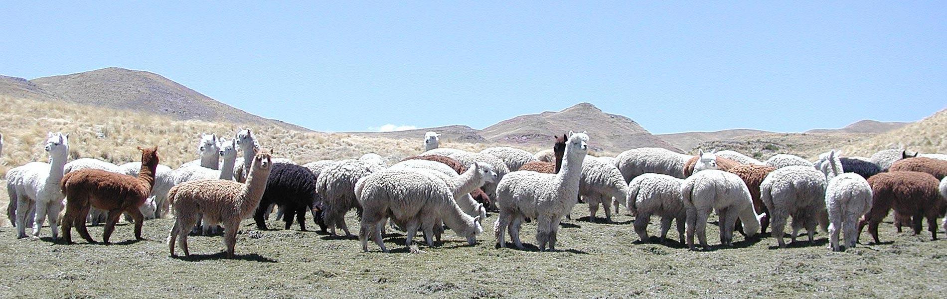 alpaca females