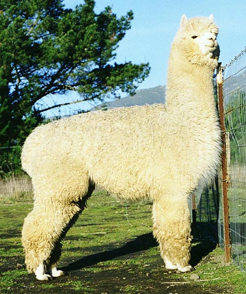 Peter The Great Alpaca Stud
