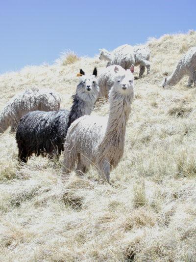 gray alpaca suri