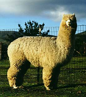 The Huacaya Alpaca