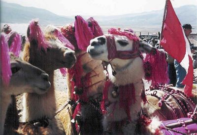 Llamas in Traditional Array