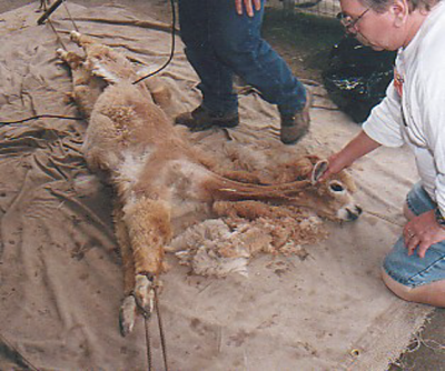 alpaca shearing day